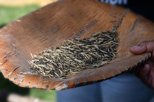 Catalyst-Grant-restoring-mnomen-Winnowing the rice. Wild Rice Initiative | Photo credit: Todd Marsee, Michigan Sea Grant.