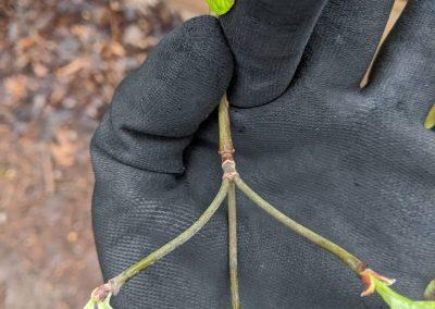Cornus florida branches