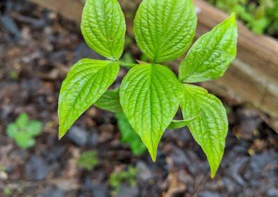 Cornus florida leaves