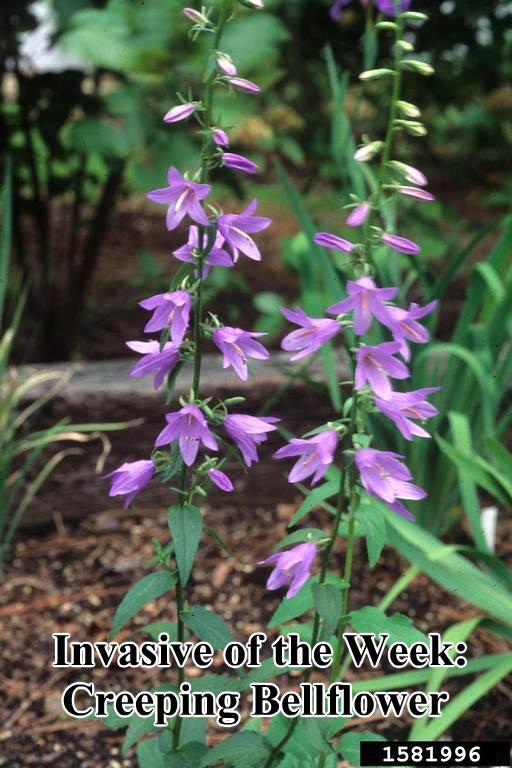 Creeping bellflower-w-flowers