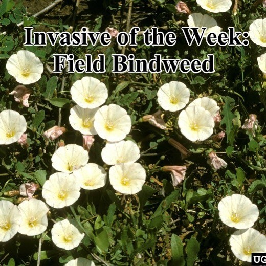 Field bindweed banner