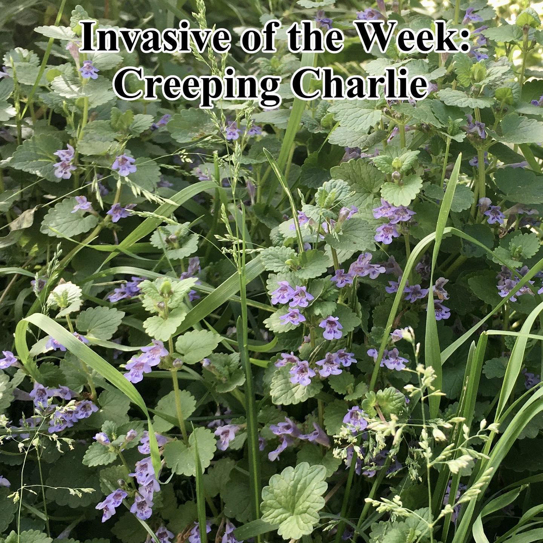 Invasive of the week June 10-2020-creeping charlie