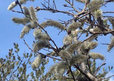 Willow-unknown species