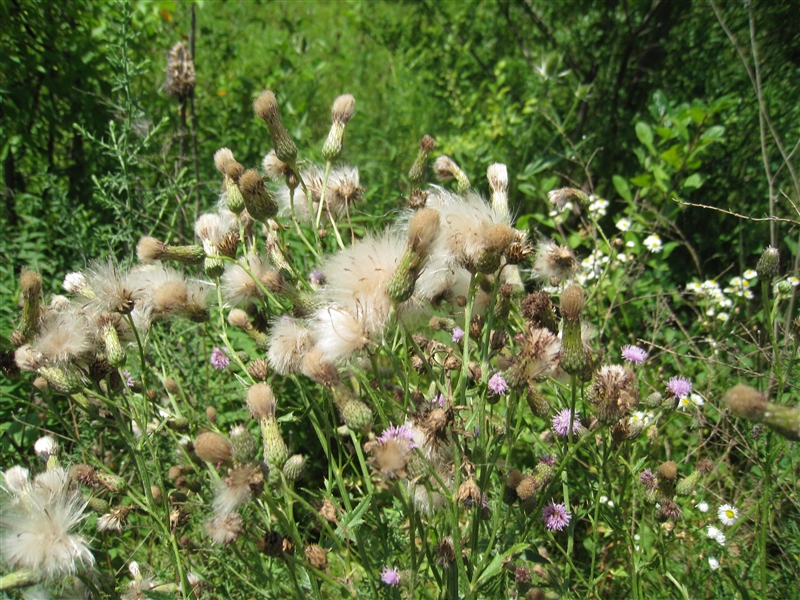 Canada thistle seeds
