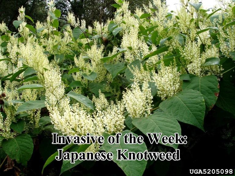 Photo credit: Jan Samanek, Phytosanitary Administration, Bugwood.org