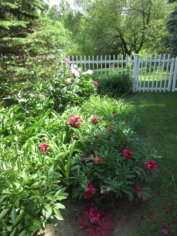"""Martha Johnson: """"Peonies combine all the best of the garden – color, form, aroma and memories."""""""