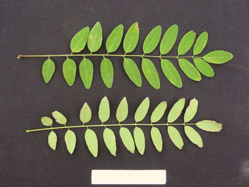 Black locust leaves-R. Schipper