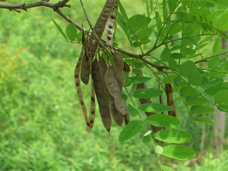 Black locust seed pods-L. Wallis