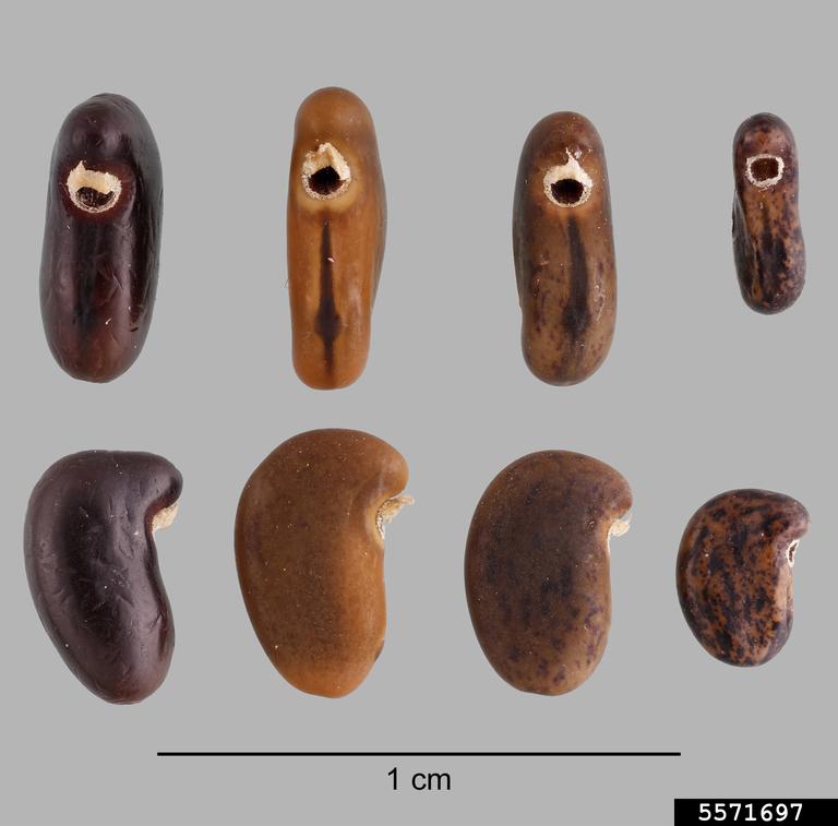 Black locust seeds