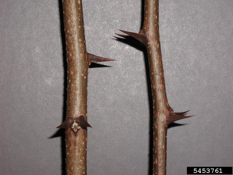 Black locust twigs-thorns