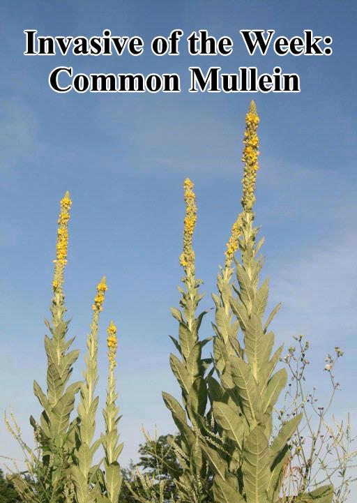 Common Mullein