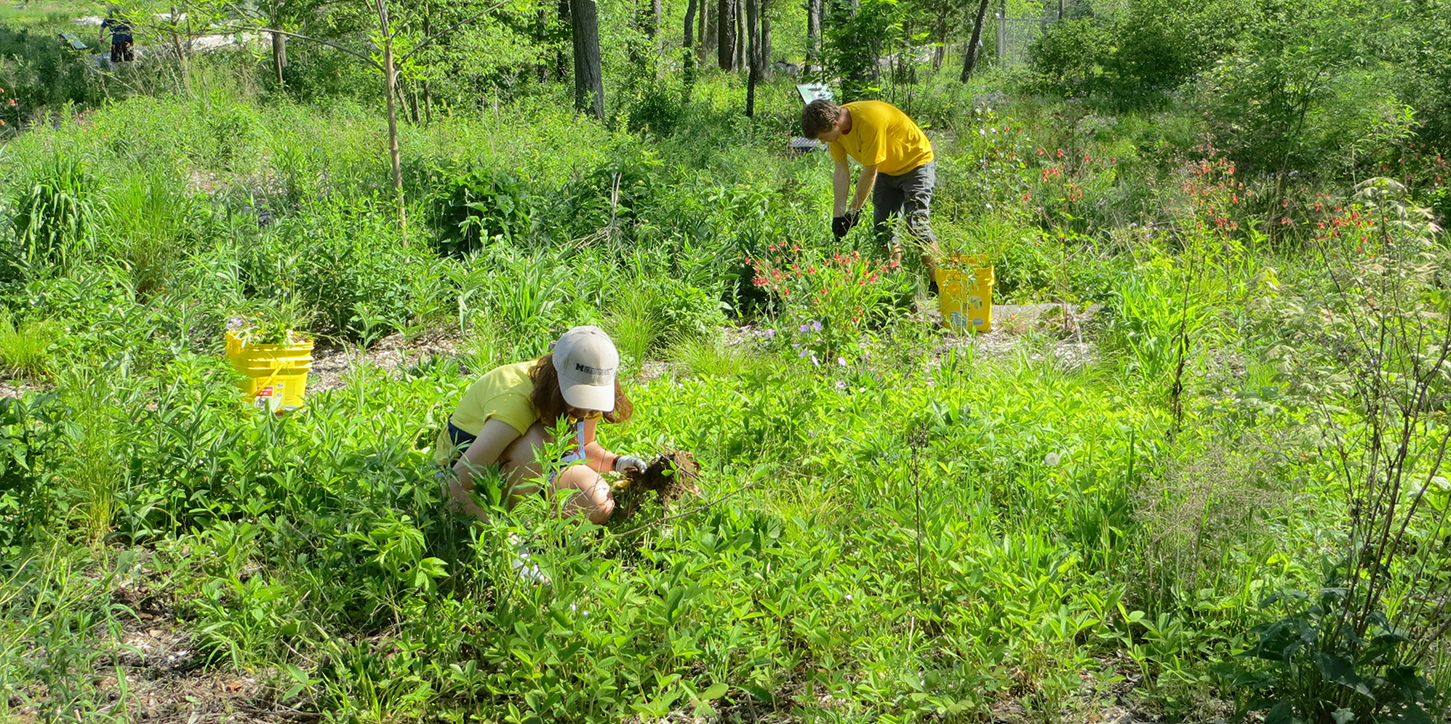 Pulling out invasive plants