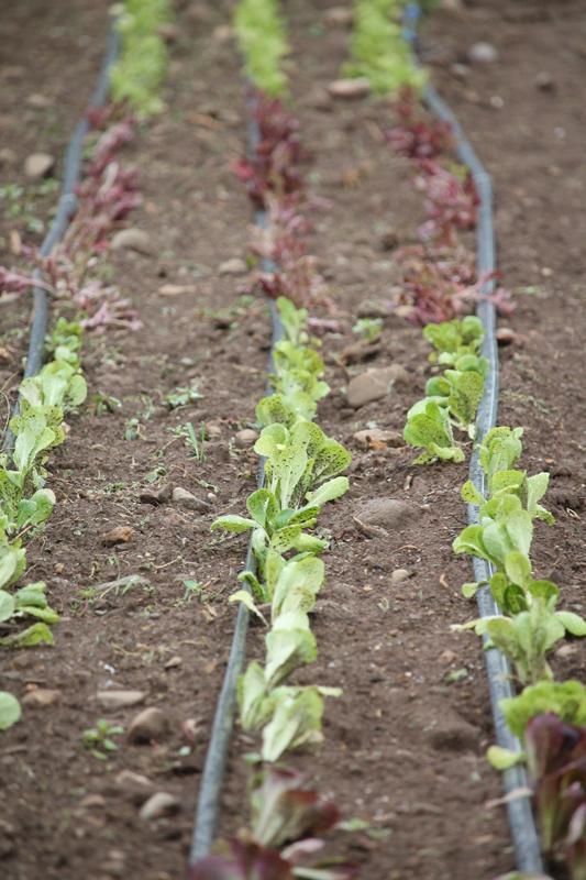 Lettuces (1)