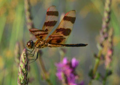 Ben Keyserlin, Halloween pennant dragobfly