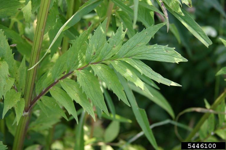 Valerian leaves