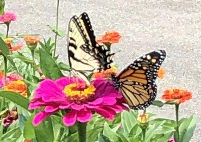 Jeff Plakke, Tiger swallowtail and monarch on zinniaJeff Plakke