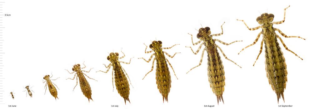 dragonfly instars