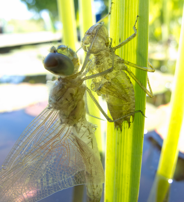 dragonfly with molt