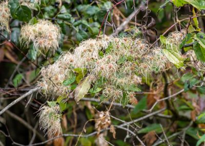 Virgin's bower seed heads (Clematis virginiana)