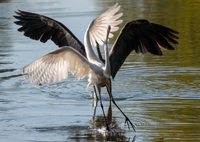 Great Blue Heron chases Great Egret from its fishing area
