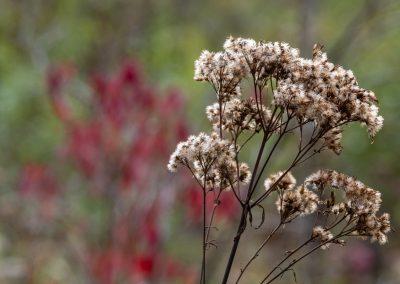 Joe Pye weed seed heads (Eutrochium maculatum)