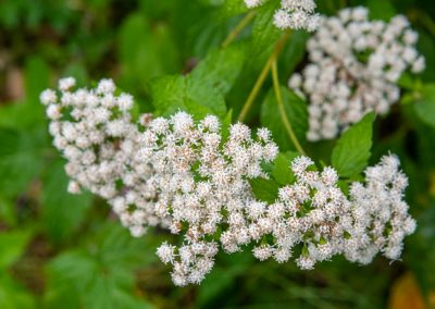 White snakeroot (Ageratina altissima) still blooming