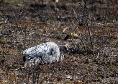 Wild turkey hen, one of several white hens at Matthaei