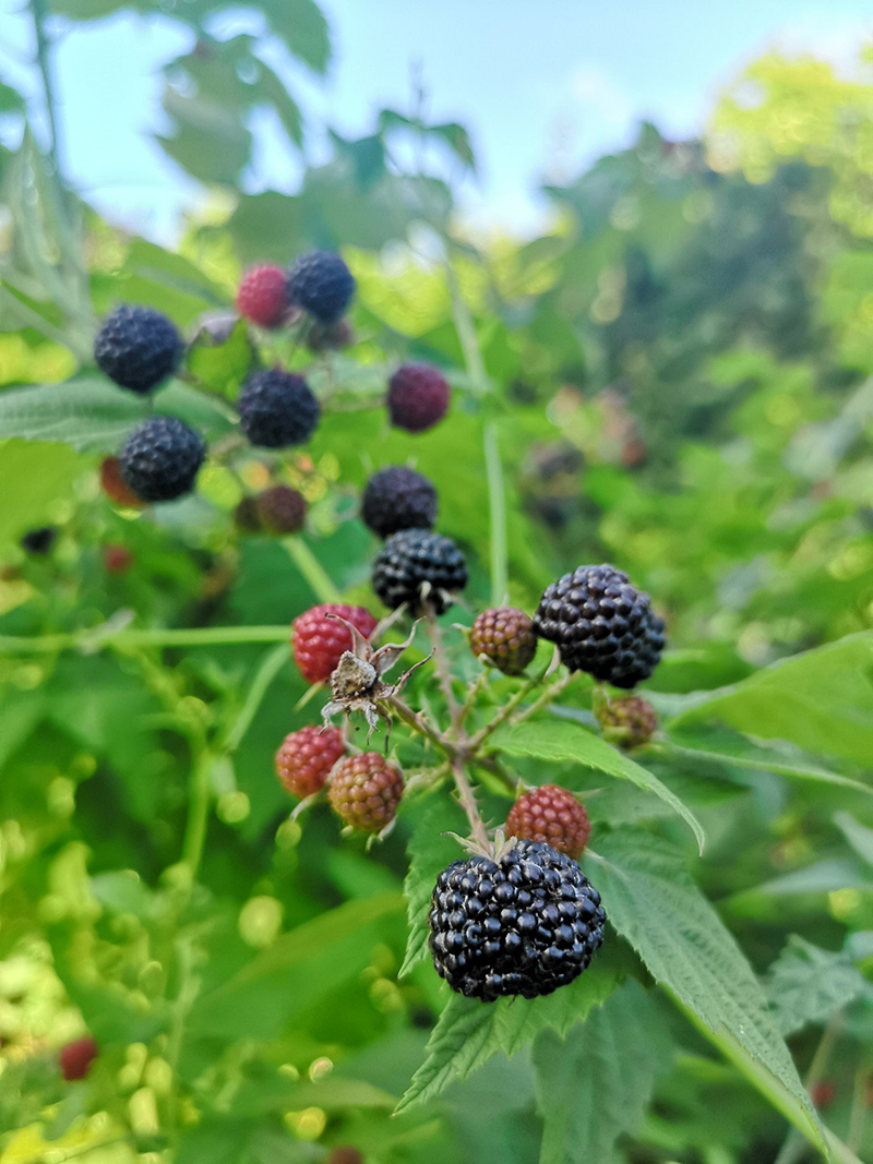 Black raspberries