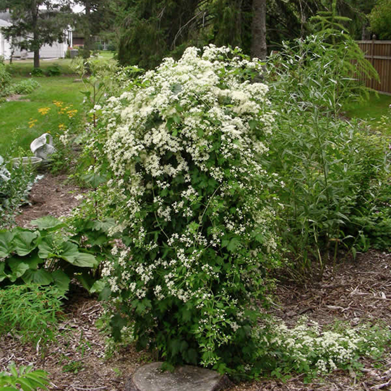 clematis-virginiana-covering structure-Minnesota Wildflowers
