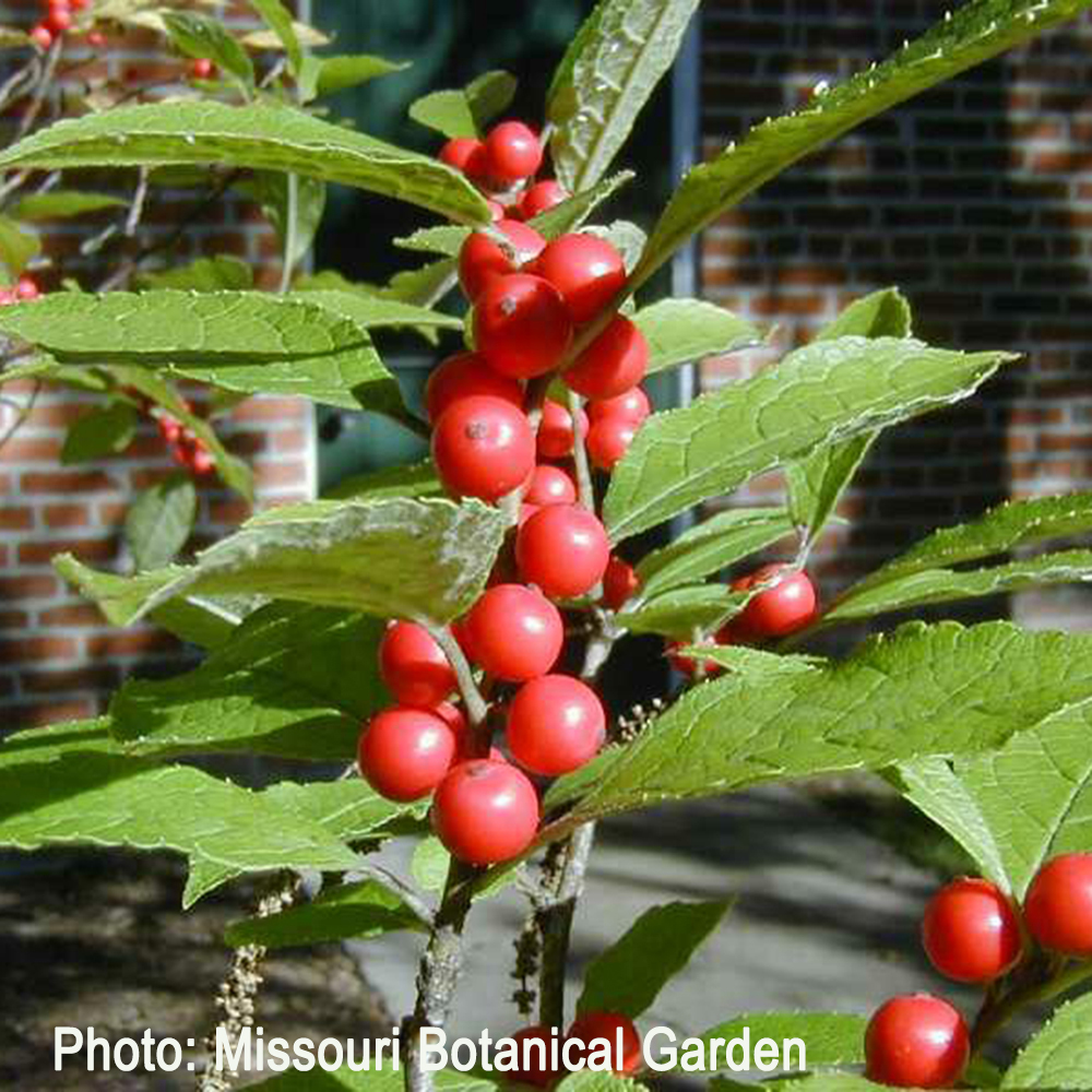 Winterberry fruits and leaves