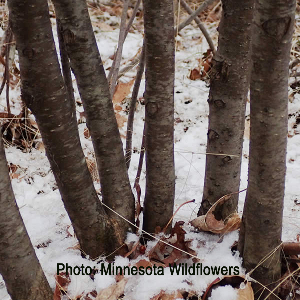 Winterberry branches