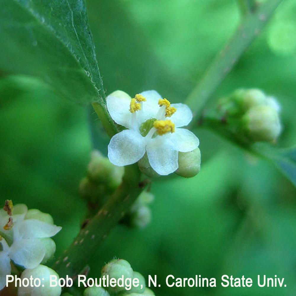Male winterberry flowers