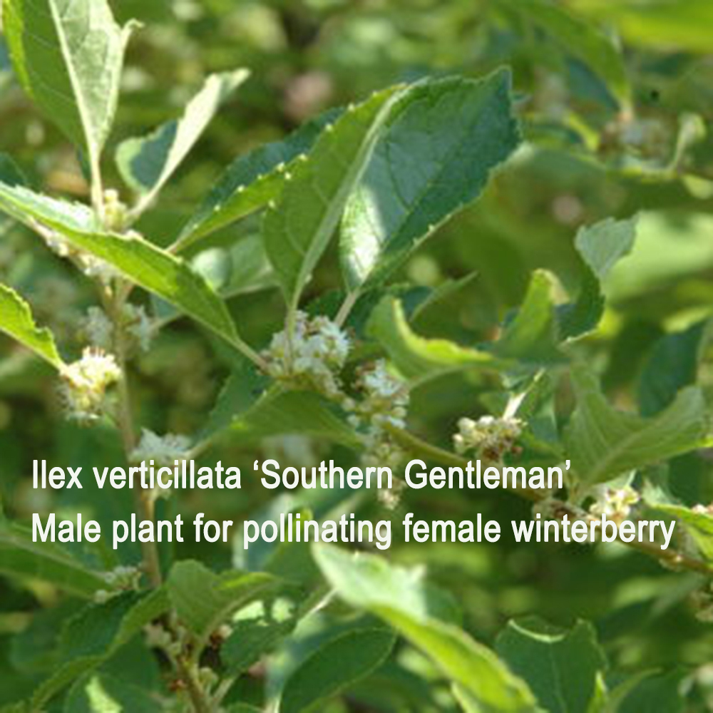 Winterberry 'Southern Gentleman'