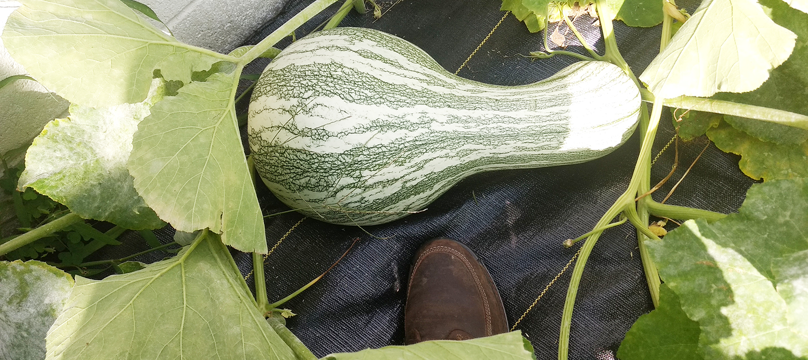 squash ready to be harvested for the heritage seeds project