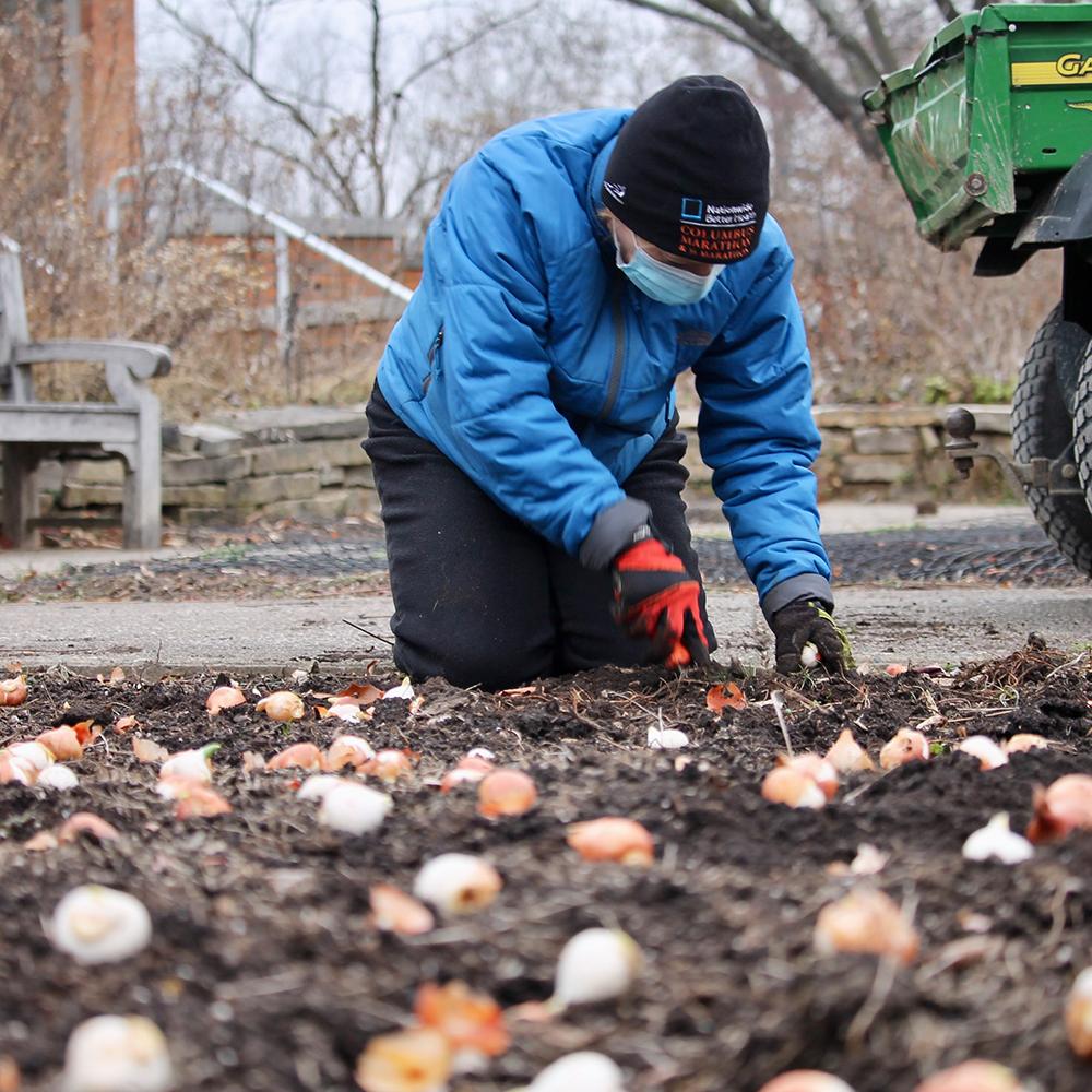Planting the tulip bulbs