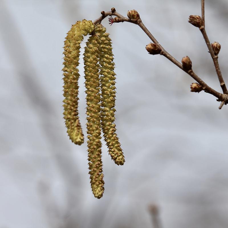 Hazelnut catkin