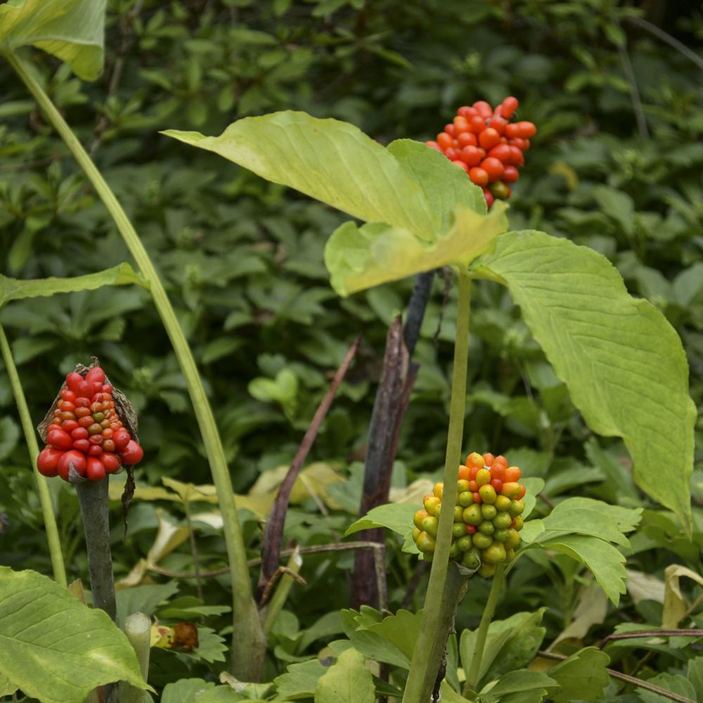 JITP berries-Chesapeake Conservation Landing