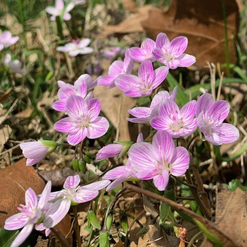 SQ-Spring beauty flowers-Missouri Botanical Garden