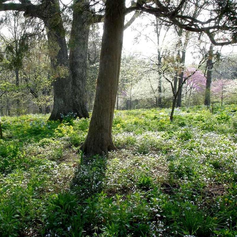Field of spring beauty
