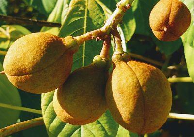 Bottlebrush buckeye fruit
