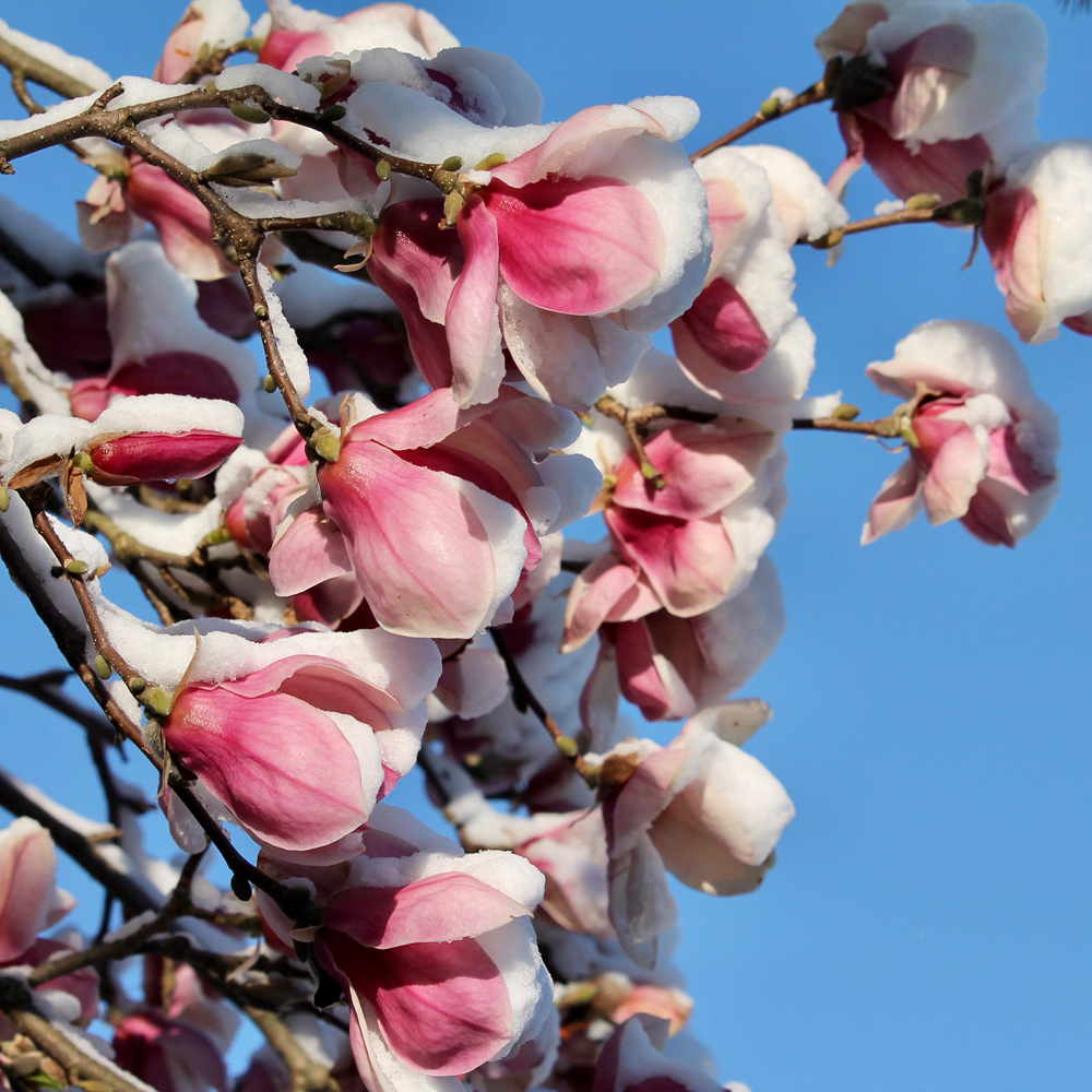 Magnolia flowers in the Arb