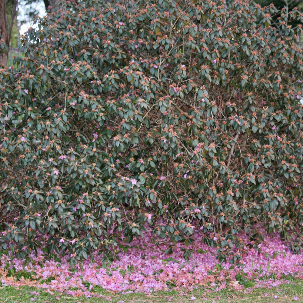 Rhododendron after the frost and snow