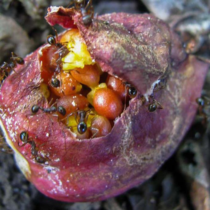 Trillium seeds