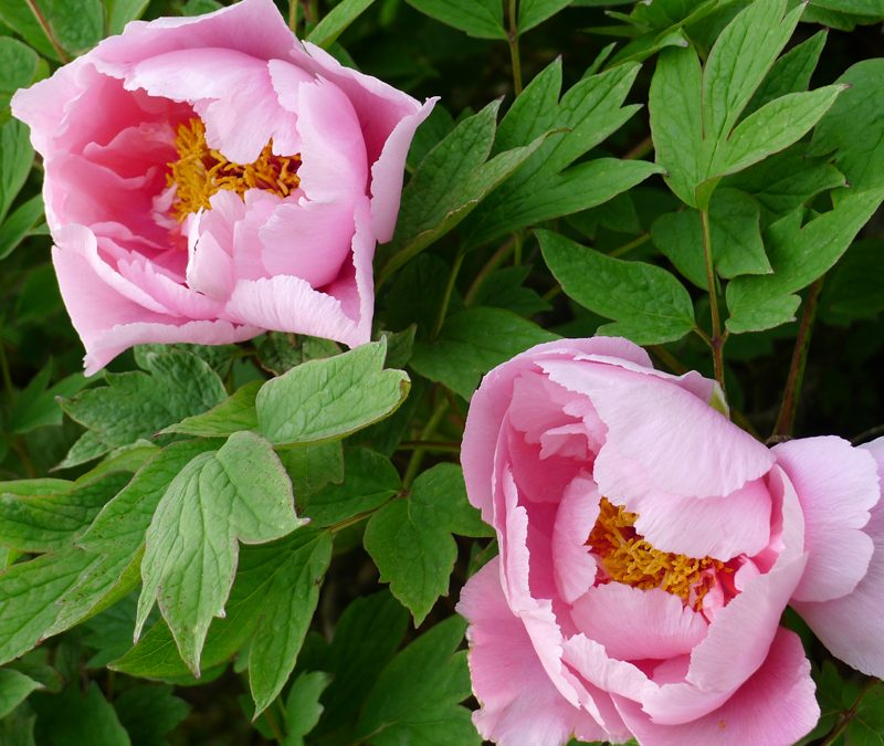 Itoh peonies introduced