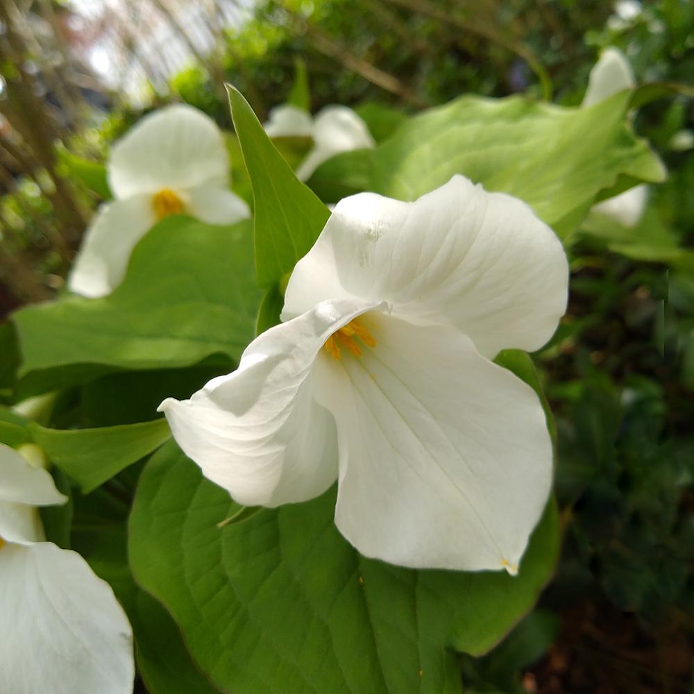 Trillium grandiflora up close