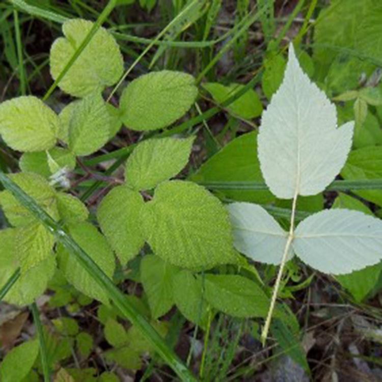 Black raspberry-leaves-B Walters