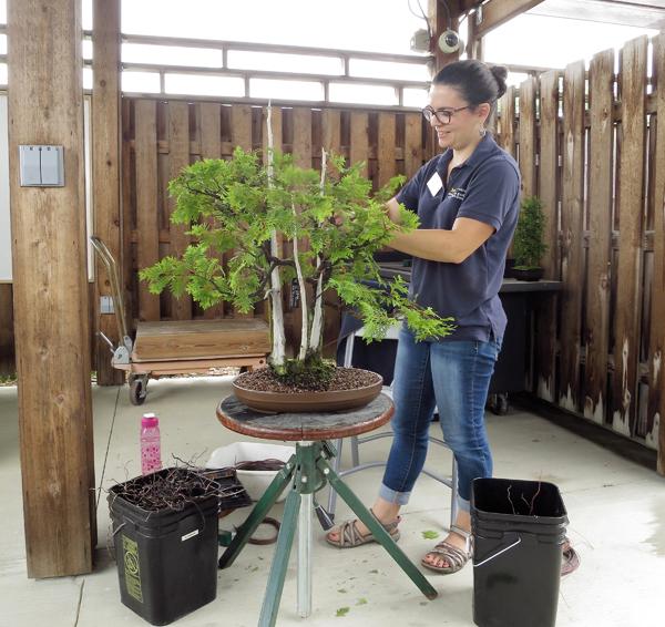 Carmen works on a bonsai