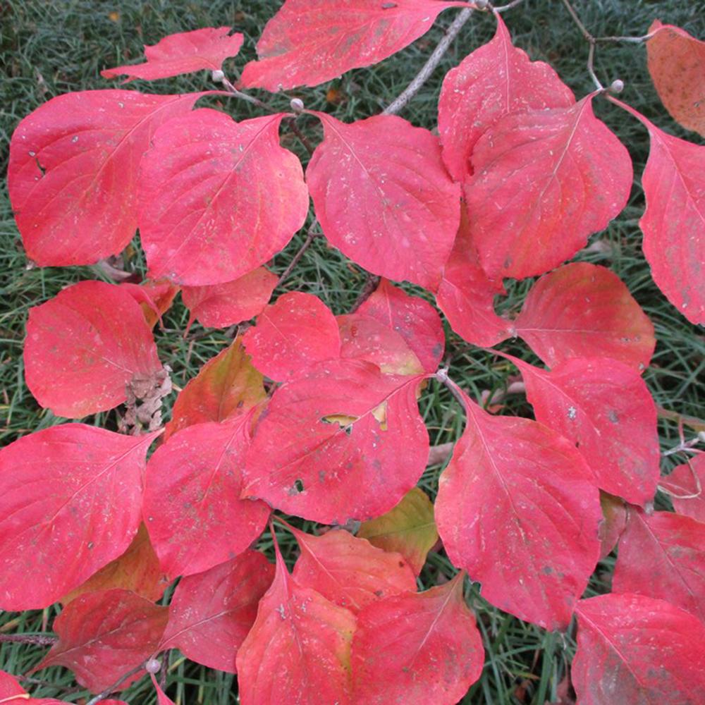 Cornus florida fall leaves