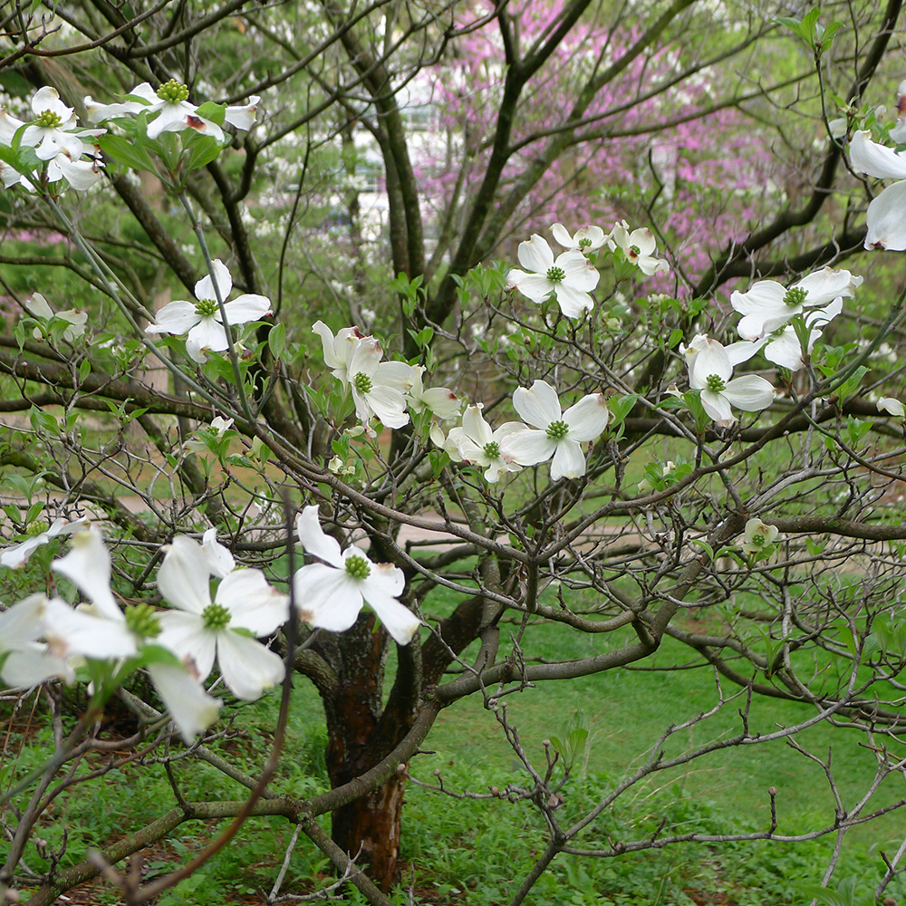 Dogwood branches flowering