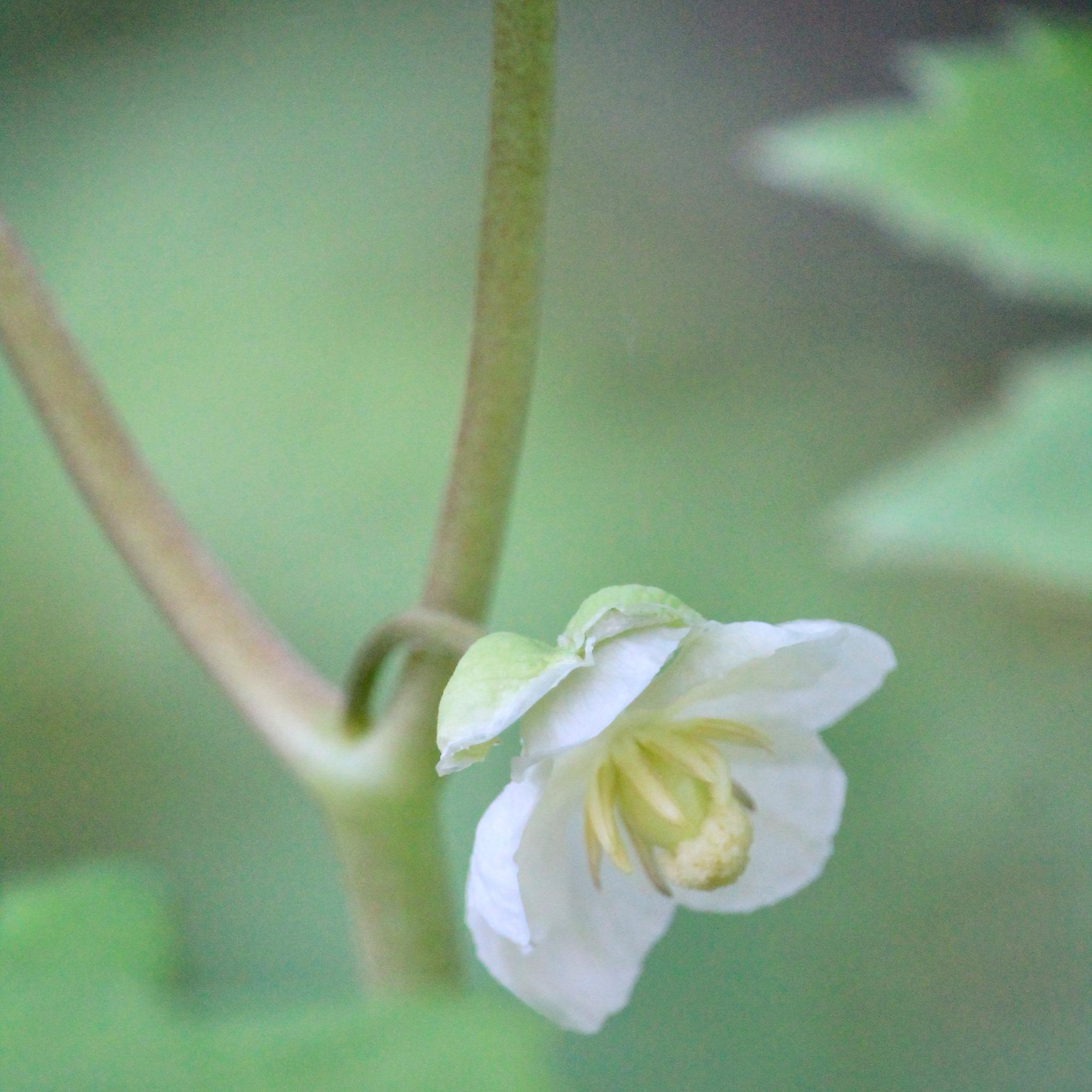 Mayapple flower close up